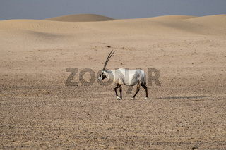 Single Arabian Oryx walking in the desert