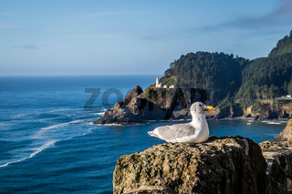 A Seagull in Heceta Head Lighthouse State Park Florence, Oregon