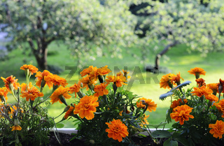 marigolds on the background of a garden