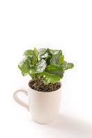 Isolated on white one small coffee plant in coffee cup
