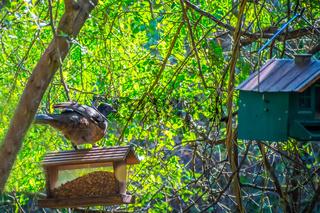 A Plain Chachalaca bird in Frontera Audubon Society, Texas