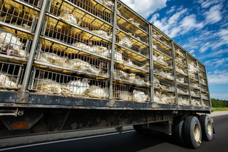 live turkeys transportation truck cages