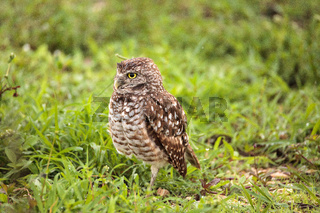 Adult Burrowing owl Athene cunicularia perched outside its burrow