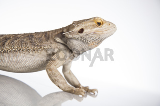 Lizard Bearded Dragon, Pet on white background