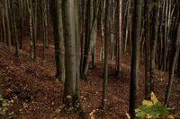 Autumn forest at the ramparts of the Celtic Oppidum,Franken,Frankenalb, Bavaria