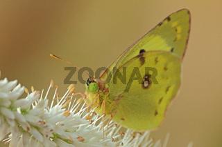 Goldene Acht (Colias hyale)