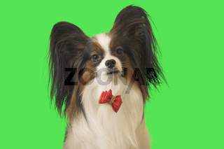Beautiful dog Papillon with red bow on green background