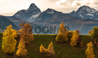 Autumn in Davos Grisons Switzerland, yellow coloured trees