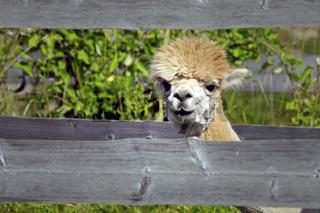 Curious Young Alpaca Peeks Through Fence