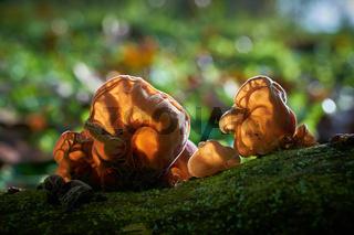 Judasohr (Auricularia auricula-judae) im Gegenlicht