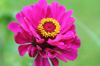 Beautiful Zinnia elegans or Youth-and-age or Common zinnia or Elegant zinnia flower in the garden