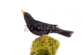 male Blackbird. Mossy wood bramble
