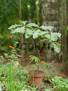 little oak in a flower pot