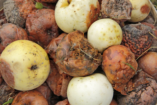 Rotten and white apples on compost heap in garden. Crop from orchard.