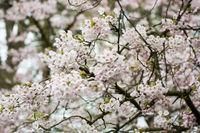 Cherry trees blooming at Bispebjerg cemetery in Copenhagen