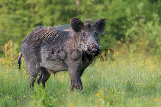 Adult male wild boar, sus scrofa, in spring fresh grassland with flowers.