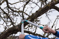 Winter cut at fruit tree with pruning shears - close-up