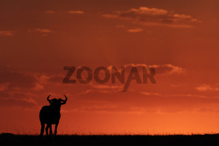 Blue wildebeest standing on horizon at sunset