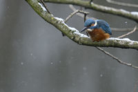 Eurasian Kingfisher * Alcedo atthis * in winter, perched in a tree, hunting