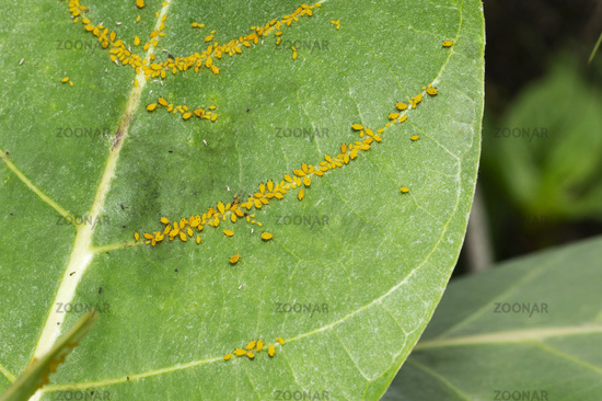 Aphid insects on a tender leaf near Pune, Maharashtra, India.