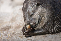 Asian small-clawed otter, Amblonyx cinerea eating