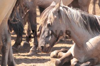 Wildpferde in Duelmen