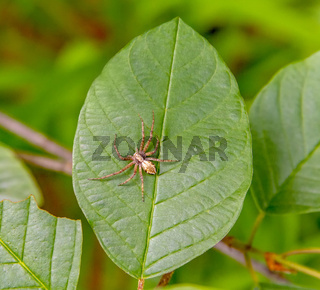 running crab spider on green leaf