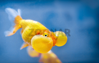 A bubble eye fish goldfish close up