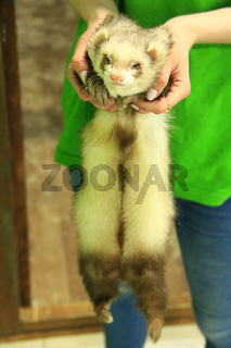 Cute polecat in frendly human hands in contact zoo