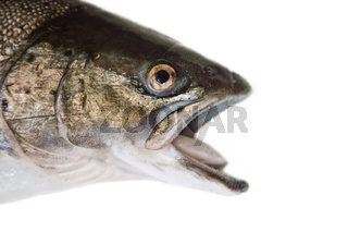 hybrid of Atlantic salmon and Sea trout