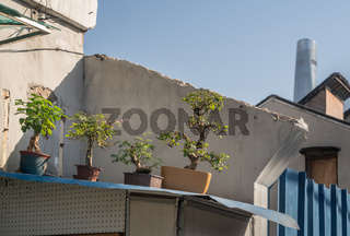 Bonsai trees on roof of home with skyscraper in background