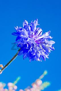 Blue fresh cornflower