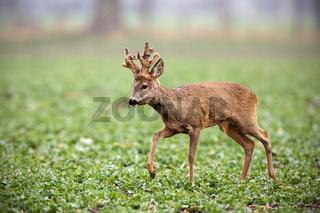 Roe deer, capreolus capreolus, buck with big antlers covered in velvet walking.