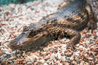 The spectacled caiman