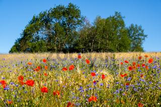 Blühstreifen am Kornfeld