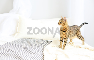 Bengal cat with green eyes in the bedroom