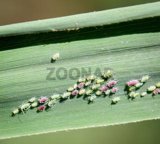 Macro von Blattläuse auf einem Blatt