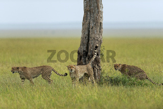 Cheetahs marking territory, Maasai Mara, Kenya, Africa.
