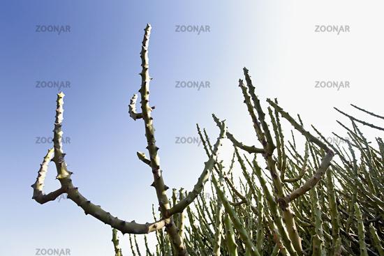 Wild cactii at Hampi Karnataka state of India.