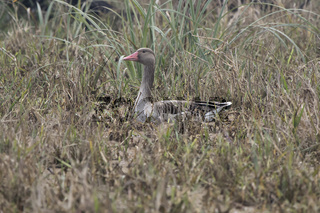 Graylag goose that sits in the grass on the shore of the pond