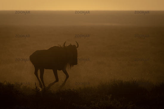Blue wildebeest gallops in early morning light