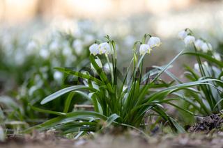 white spring flowers snowflake Leucojum