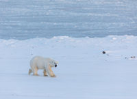 polar bear walking on snow close to the frozen Billefjorden in Svalbard
