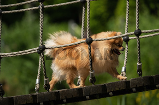 A little Pomeranian out in the nature