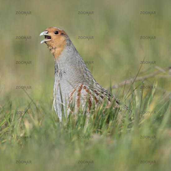 Grey Partridge * Perdix perdix * calling