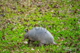 A small cute Armadillo in Abbeville, Louisiana