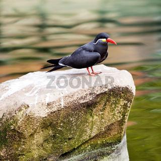 KR_Zoo_Inkaseeschwalbe_02.tif