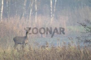 Rottier in einem Teichgebiet