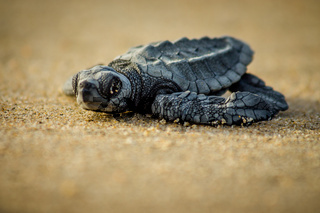 A baby sea turtle struggles for survival after hatching in Mexico