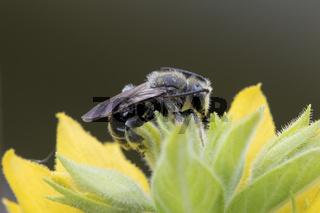 Wildbiene, Macropis